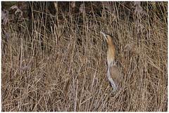 Bittern. (vegetus aer) Tags: woodwaltonfen greatfen greatfenproject wildlifetrust bcnwildlifetrust nnr cambridgeshire wildlife rx10m3 bittern