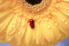 Gerbera (ElenAndreeva) Tags: yellow red spring color sun light summer closeup cute love lovely colors dof insect canon garden petal soft drop dream colorful tones sweet focus bug amazing nature macro flower ledybug