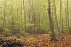 Autumn Forest (Netsrak (on/off)) Tags: mist fog nebel tree trees baum bäume woods forest wald forst leaf leaves blatt blätter green orange grün autumn fall herbst september