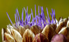 Delicacy (AnyMotion) Tags: artichoke artischocke cynaracardunculus cynarascolymus blossom blüte bokeh 2016 anymotion flower blume floral travel reisen nature natur tofino botanicalgarden vancouverisland britishcolumbia canada kanada 7d2 canoneos7dmarkii colours colors farben purple violett ngc