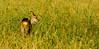 Jeune chevrette avec maquillage (J-C Isabelle) Tags: chevrette cervidé jeune capreoluscapreolus cervidae autonne champs campagne nature animal ruminants loiret région centre 45 nikon d5100 sigma 150500