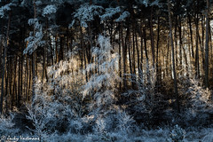161230_006-43.jpg (Jacky Vastmans) Tags: limburg maasmechelen mechelseheide beriezen bevroren bos cold dennebomen dennen freezing frozen koud landscape landschap panorama pine sneeuw sneeuwlandschap snow snowylandscape sparren stilleven vriezen winter winterlandschap wood