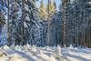 Winter Forest (F!o) Tags: wald forest snow schnee winter frost frozen cold kalt sonnenschein sunshine nikkor 20mm 20mm18g