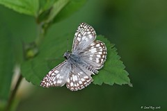 Pyrgus communis / Common checkered Skipper (Laval Roy) Tags: colombie colombia papillon butterfly insectes lavalroy arthropodes lépidoptères pyrguscommunis commoncheckeredskipper hespériidés