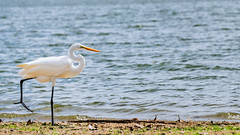 One foot in front of the other. (Clint Everett) Tags: fall nature bird water aquatic shore sony