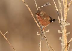 Fauvette pitchou (m-idre31 - 5 millions de vues merci) Tags: bird aves rouède hautegaronne fauvettepitchou