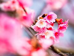 Sakura (紅襪熊) Tags: olympus omd em1 m43 micro43 microfourthirds olympusem1 sigma 150mm macro bokeh sigma150mmmacro apo f28 sigmaapomacro150mmf28 sigmamacro150mmf28 150mmf28 sigma150mmf28 平菁街 陽明山平等里 寒櫻 sakura 櫻 櫻花 cherryblossoms pink flower flowers blossom blossoms castle cherry cherryblossom cherryblossomfestival cherrytree cherrytrees garden light nature park plant sky spring travel tree trees white さくら サクラ 春 桜 花 花見 賞櫻 日本 japan 粉 粉紅 陽明山 花季 賞花