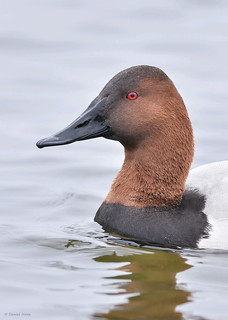 Canvasback (Explored#8)