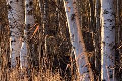 (rscholle) Tags: birken birch abendlicht dämmerung sonne sun evening light dusk winter