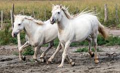 2016 Two Camargue Stallions (17) (maskirovka77) Tags: saintlaurentdaigouze languedocroussillonmidipyrén france languedocroussillonmidipyrénées fr stallion stallions whitehorse whitehorses whitestallion whitestallions createaway photoworkshop