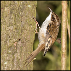 Tree Creeper (image 1 of 3) (Full Moon Images) Tags: rspb fen drayton lakes wildlife nature reserve cambridgeshire bird tree creeper