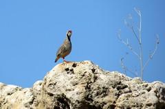 Chukar partridge (Alectoris chukar), Antelope Island State Park, June 2016 (Judith B. Gandy) Tags: alectoris chukars partridges birds aves utah alectorischukar antelopeislandstatepark antelopeisland chukarpartridge gamebirds