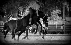 Lá na fronteira (Eduardo Amorim) Tags: gaúcho gaúchos gaucho gauchos cavalos caballos horses chevaux cavalli pferde caballo horse cheval cavallo pferd crioulo criollo crioulos criollos cavalocrioulo cavaloscrioulos caballocriollo caballoscriollos pampa campanha fronteira jaguarão riograndedosul brésil brasil sudamérica südamerika suramérica américadosul southamerica amériquedusud americameridionale américadelsur americadelsud cavalo 馬 حصان 马 лошадь ঘোড়া 말 סוס ม้า häst hest hevonen άλογο brazil eduardoamorim gineteada jineteada