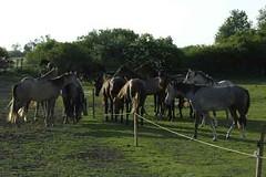 _le00322 (lotharlenz) Tags: shagyaaraber herde stress babolna