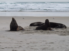 425 - Réveil des lions de mer