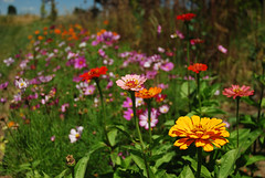 "zinnias • <a style=""font-size:0.8em;"" href=""http://www.flickr.com/photos/75400798@N04/32777881965/"" target=""_blank"">View on Flickr</a>"