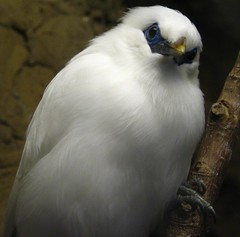 Bali Myna - Only a few of these in the world! - by SeeMidTN.com (aka Brent)