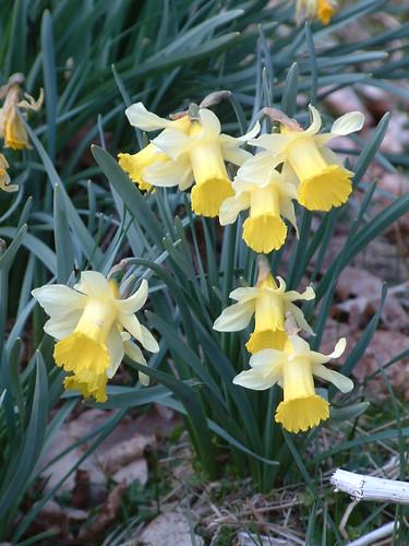 Narcissus sp.