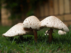 Mushroom Family (Cyron) Tags: macro mushrooms photo flickr 2006 fungi zuiko cyron zd 35mmf35 35mmmacro35