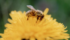 Darn that pollen! (Porrovio) Tags: portrait macro insect spring fourseasons flickrific