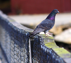 taking a walk (eva8*) Tags: bridge bird wow pigeon maine lookatme boothbay eva8 featheryfriday 200mm28