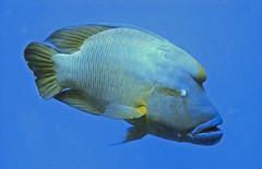 Napoleon Fish (Red Sea) - by alfonsator