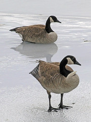 Till death do us part (Jeannot7) Tags: cold ice geese canadageese forlife specnature