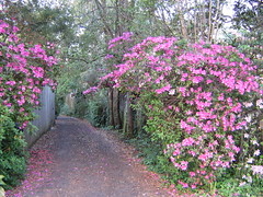 the Path: again (freestone) Tags: flowers plants usa plant flower green nature floral leaves mystery garden spring florida blossom atmosphere vine eerie creepy neighborhood spooky fantasy urbannature mysterious tropical bloom imagination tallahassee subtropical bushes tropics springtime enigmatic fascinating subtropics