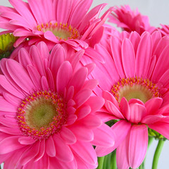 Pink (bentilden) Tags: pink flowers flower color macro green topf25 pool beautiful closeup daisies topv333 chartreuse gerbera topvaa bestofpink