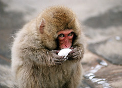 Jigokudani Yaen-Koen (manganite) Tags: winter film nature topf25 animals japan interestingness top20animalpix topf50 bravo asia seasons minolta tl explore  monkeys nippon nagano apes animalplanet nihon jigokudani march20 payitforward 7000 wildlifephotography interestingness353 i500 bluelist march202006 top20cute utatafeature manganite specanimal challengeyou wildlifeasia animalkingdomelite challengeyouwinner akblogged date:year=2006 date:month=march