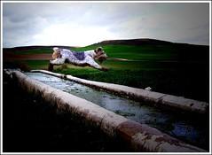 Spread your wings and fly away (Jose Manuel Torriatte) Tags: dog paisajes lafotodelasemana agua valladolid perro salto mascota foxterrier manantiales flydog navadelrey phosquito fuentemaría fuentemaria lfsmovimiento