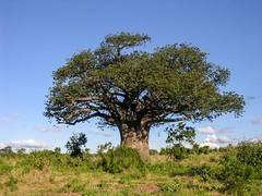 Chobe Baobab (Makgobokgobo) Tags: africa topv111 botswana chobe baobab cnp chobenationalpark adansonia adansoniadigitata