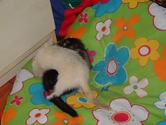 luta livre (o que os olhos vem) Tags: ferrets preta didi