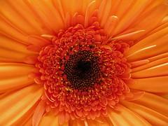 orange sherbet (pasilaly) Tags: flower color macro daisy specnature