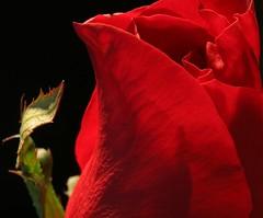Mia Rose (Mr Geoff) Tags: red black flower macro rose quality blackground interestingness6 interestingness4 i500 gtaggroup goddaym1 apexmacro bestroseshot designingconnections