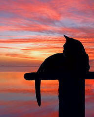 Gita Engaged in a Rapt Contemplation.... (key lime pie yumyum) Tags: sunset cat keywest abyssinian cc400