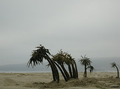 Seaweed Palms (miscpix) Tags: ocean california desktop trees wallpaper seaweed tree beach wet rain topv111 sand nikon pacific cloudy background bestviewedlarge overcast rainy palmtree bayarea beaches coolpix backgrounds sfbayarea wallpapers halfmoonbay desktopwallpaper rainyseason coolpix4500 beachsculpture desktopwallpapers desktopbackgrounds miscpix