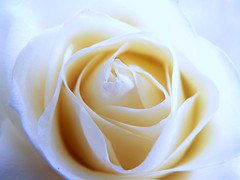 Soft white rose (janinehealy) Tags: flowers light roses plants white plant flower color colour nature beautiful rose digital fz20 petals soft rosebud petal panasonic janine dmc rosebuds lecia janinehealy