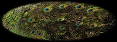 peacock-detail (Mike Rodriquez) Tags: luminosity