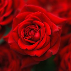 """Rose #2 """"Passion"""" (taro@flickr) Tags: flowers red macro rose japan ilovenature nikon searchthebest d70 nikkor soe 50mmf14d lovephotography impressedbeauty"""