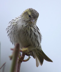 Baby Siskin (Carduelis spinus) - by Max xx