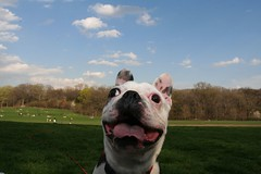 happy dog on the horizon (jetsettica) Tags: silly dogs sunshine brooklyn joy prospectpark wideangle madness fetch goon springtime eager unedited walleyed