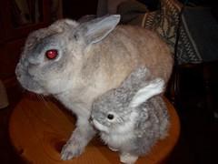 (miho_usa_milk) Tags: rabbit bunny milk usagi