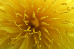 Reaching Out (*ian*) Tags: flower macro yellow topv111 closeup blog weed topv333 dof 321 dandelion favourite 1on1 1on1flowers apr2006blog ccmpclosencounter bigemrg