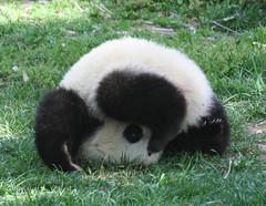 Peek-a-boo (somesai) Tags: zoo cub smithsonian panda tai nationalzoo endangered pandas meixiang taishan babyanimals dczoo butterstick pandaunlimited
