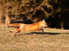 Red Fox (Padrone) Tags: nature print ilovenature published mybackyard redfox naturescenes specnature