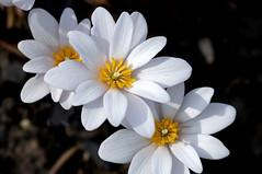 Bloodroot (violetflm) Tags: white flower apple woods d2x il es cbg bloodroot chicagobotanicgarden dsc0012 es2013