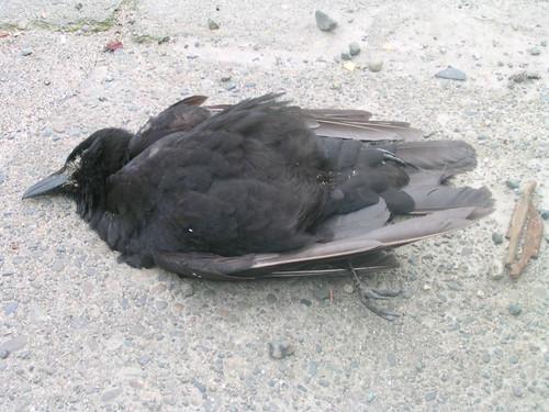 Cloverdale Dead Crow