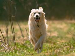 Miesha (Padrone) Tags: dog goldenretriever happy running retriever 300mm 5bestdogs miesha