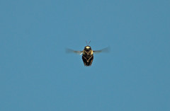 Bumble Poser (Finiky) Tags: nature animals wings insects bee bumblebee finiky d200 hangtime 80400mmf4556dvr